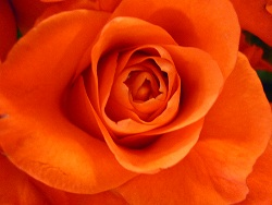 Single apricot/orange rose
